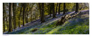 Images of Erwood Bluebells in powys